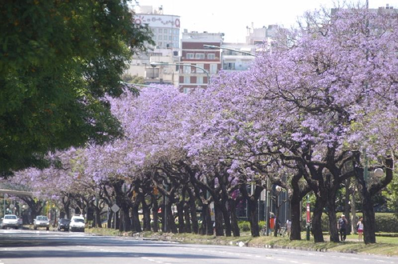 jacarandas em Buenos Aires em novembro